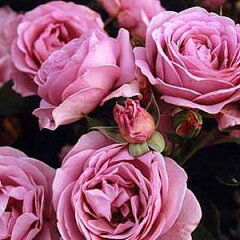 バラ苗 しのぶれど 国産大苗6号鉢フロリバンダ(FL) 四季咲き中輪 アンティークタイプ 紫系