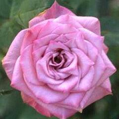 バラ苗 ブルーオベーション 国産大苗6号鉢ミニチュア系パティオローズ 四季咲き小輪 紫系