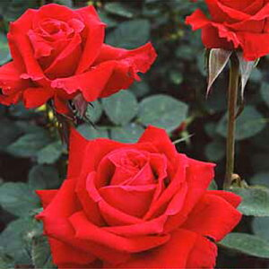 バラ苗 アンクルウォルター 長尺苗 国産大苗6号鉢つるバラ(CL) 四季咲き 赤系