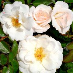 バラ苗 ブライダルティアラ 国産大苗6号鉢フロリバンダ(FL) 四季咲き中輪 白系