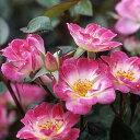 バラ苗 姫(ひめ) 国産大苗6号鉢ミニチュア系パティオローズ 四季咲き中輪 ピンク系