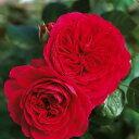 【耐寒・耐病性があり。クリムゾンレッドの花色とカップ咲きの花形】バラ苗 レッドレオナルドダ...