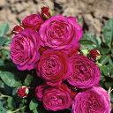 バラ苗 ハイディクルムローズ 国産大苗6号スリット鉢フロリバンダ(FL) 四季咲き中輪 ピンク系