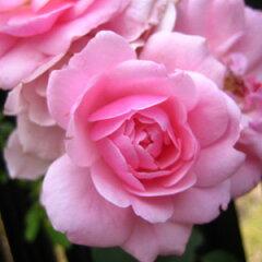 バラ苗 ボニカ'82 国産新苗4号ポリ鉢修景用 四季咲き中輪 ピンク系