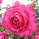 ローズピンクの花は一本だけでも目立、香りのすばらしい品種。バラ苗 恋心(こいごころ) 国産...