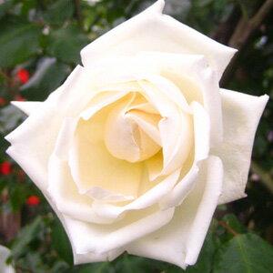 バラ苗 新雪 国産大苗6号鉢つるバラ(CL) 四季咲き中輪 白系