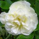 バラ苗 つるサマースノー 国産大苗6号スリット鉢つるバラ(CL) 返り咲き中輪 白系