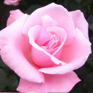 バラ苗 ハイブリッドティー (HT) 春芳(しゅんぽう) 大苗6号鉢 四季咲き大輪 ピンク系【即...