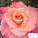 バラ苗 アブラカダブラ 国産大苗6号鉢ハイブリッドティー(HT) 四季咲き大輪 複色系 ピンク系