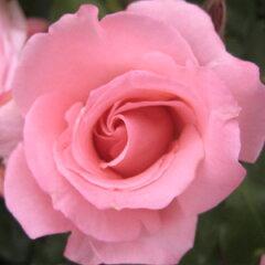 【蕾から巻いた花弁が優雅でとても美しい。花付が素晴らしく多く、長く咲き続けます】予約苗 バ...