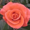 バラ苗  カンデラブラ 大苗6号鉢ハイブリッドティー (HT) 四季咲き大輪 オレンジ系