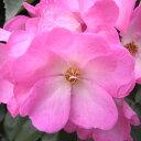 バラ苗 シエスタ 6号鉢 四季咲き中輪 ピンク系修景用 フロリバンダ(FL)【バラ】【バラ苗】