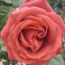 バラ苗 テラコッタ 国産大苗6号鉢つるバラ(CL) 四季咲き 茶色系