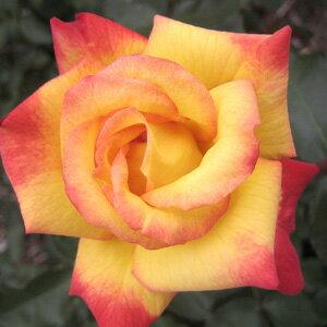 バラ苗 チャールストン 国産大苗6号スリット鉢フロリバンダ(FL) 四季咲き中輪 複色系