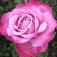 【耐病性に優れていて、外弁から赤紫色に変化し、香りも濃厚で素晴らしい花】予約苗 バラ苗 ブ...