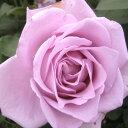 バラ苗 つるブルームーン 国産新苗植え替え6号スリット鉢つるバラ(CL) 返り咲き 紫系