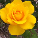 バラ苗 ヘンリーフォンダ 国産新苗4号ポリ鉢ハイブリッドティー(HT) 四季咲き大輪 黄色系