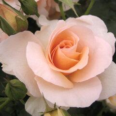 バラ苗 琴音(ことね) 国産大苗6号スリット鉢フロリバンダ(FL) 四季咲き中輪 オレンジ系