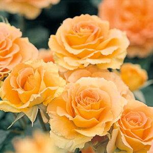 バラ苗 ブラスバンド 国産大苗6号鉢フロリバンダ(FL) 四季咲き中輪 複色系