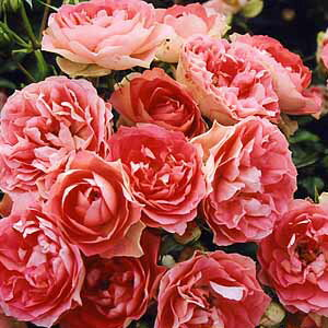 バラ苗 るる 国産大苗6号鉢フロリバンダ(FL) 四季咲き中輪 ピンク系