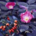 【お祝い・記念日・誕生日・フラワーギフト・バラ】バラ大苗 オールドローズ・スピーシーズ ...