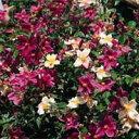 バラ大苗 オールドローズ・チャイナ ムタビリス 大苗6号鉢 四季咲き中輪 ピンク系