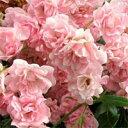 バラ苗 ザフェアリー 国産大苗6号鉢四季咲き小輪 ピンク系