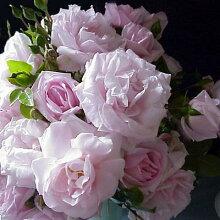 【アウトレット】苗Bバラ苗ニュードーン6号スリット鉢つるバラ(CL)四季咲きピンク系
