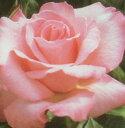 バラ苗 ファーストプライズ 大苗7号鉢 四季咲き大輪ウィークスローズ ピンク系