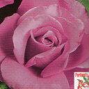 バラ苗 ロイヤルアメジスト 輸入大苗7号鉢 四季咲き大輪プレミアムウィークスローズ ピンク系
