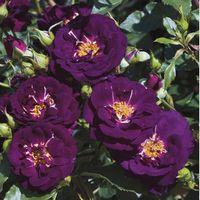 バラ苗 ミッドナイトブルー 輸入大苗7号スリット鉢 四季咲き中輪 紫系ウィークスローズ