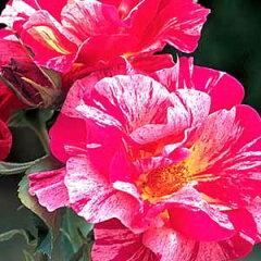 バラ苗 エドガードガー 国産大苗6号ロング鉢 四季咲き大輪 複色系 フレンチローズ(デルバール)