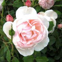 バラ苗 マダムフィガロ 国産大苗6号ロング鉢 ピンク系 フレンチローズ(デルバール)
