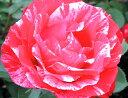 バラ苗 アンリマチス 国産大苗6号鉢 四季咲き 複色系 フレンチローズ(デルバール)