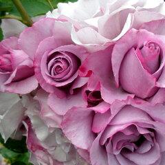 素晴らしい香りと花色、育て易さで大人気のフレンチローズ。バラ苗 ディオレサンス 国産新苗4号...