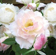 【強香 大輪のカップ咲き、ブッシュタイプです。白に限りなく近いピンクの花が、やさしく香りま...