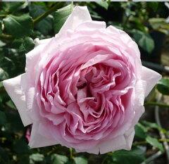 バラ苗 トットちゃん 国産大苗6号スリット鉢 四季咲き中輪 ピンク系 ロゼット咲き