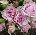【春はさくらピンク色、秋にはライラックがかったピンク色になります】予約苗 バラ苗 ラマリエ ...