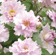 バラ苗 クチュールローズチリア 国産大苗6号ロング鉢 四季咲き中輪 ピンク系