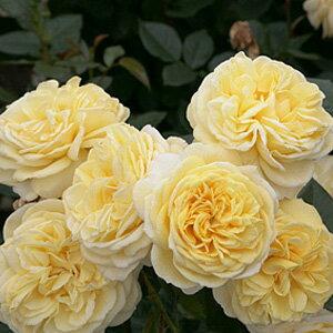 バラ苗 カールプロベルガー 国産大苗6号鉢フロリバンダ(FL)四季咲き中輪 黄色系