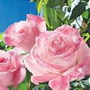 バラ苗 エイプリルインパリ 国産大苗6号スリット鉢ハイブリッドティー(HT) 四季咲き大輪 複色系