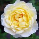 バラ苗 【令和(れいわ)】 大苗7号専用角鉢入 黄色系 Rose for You【発売記念特典】ぼかし肥料1kg付き