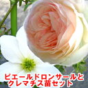 憧れのつるバラのあるガーデンに!バラ苗ピエールドロンサール1鉢とお楽しみクレマチス1鉢セッ...