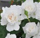 【純白の可憐バラ】バラ苗 ルブラン 国産新苗4号鉢 四季咲き中輪 白系