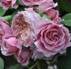 バラ苗 ローブアラフランセーズ 国産大苗河本オリジナル角鉢6号 四季咲き中輪 ピンク系