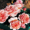 バラ苗 フランシスブレイズ 国産大苗オリジナル角鉢7号 四季咲き ピンク系 ギヨーローズ(フレンチローズ)
