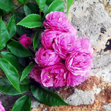 バラ苗 エクセレントフォンシューベルト 国産大苗6号スリット鉢 つるバラ(CL) 四季咲き ピンク系