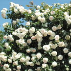 バラ苗 ブランピエールドゥロンサール 国産大苗6号スリット鉢つるバラ(CL) 返り咲き アンティークタイプ 白系