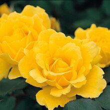 バラ苗ヘンリーフォンダ国産新苗植え替え6号スリット鉢ハイブリッドティー(HT)四季咲き大輪黄色系