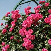 ポンポネッラ 四季咲き